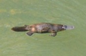 BrokenRiverplatypus
